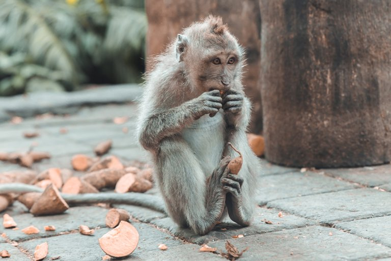 Little macaque eating at Monkey Forest, Ubud