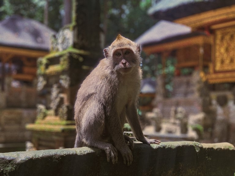 Long-tailed macaque at Sangeh Monkey Forest, Bali